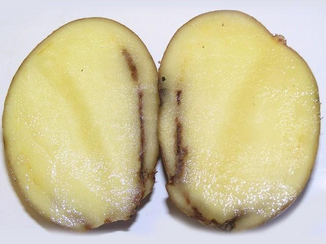 Кольцевой некроз клубня картофеля при поражении грибом Colletotrichum atramentarium